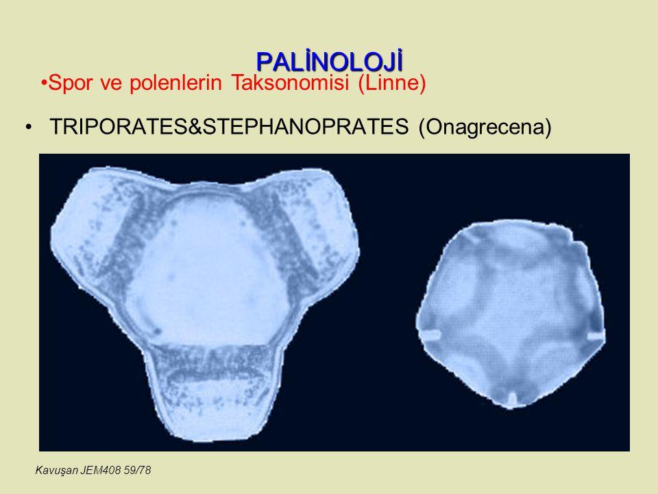 PALİNOLOJİ Spor ve polenlerin Taksonomisi (Linne)