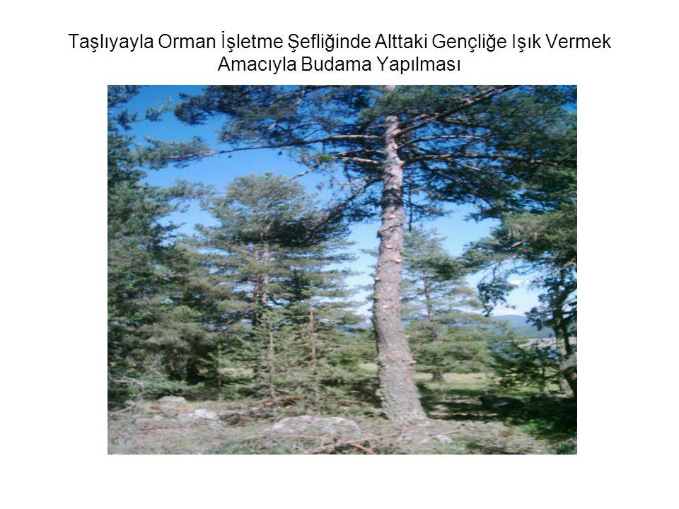 Taşlıyayla Orman İşletme Şefliğinde Alttaki Gençliğe Işık Vermek Amacıyla Budama Yapılması