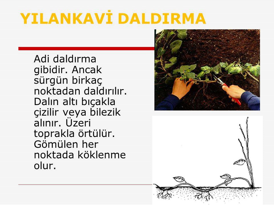 YILANKAVİ DALDIRMA