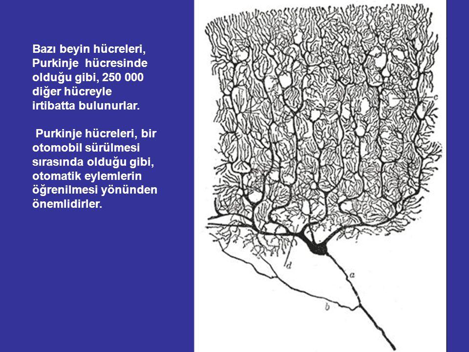 Bazı beyin hücreleri, Purkinje hücresinde olduğu gibi, 250 000 diğer hücreyle irtibatta bulunurlar.