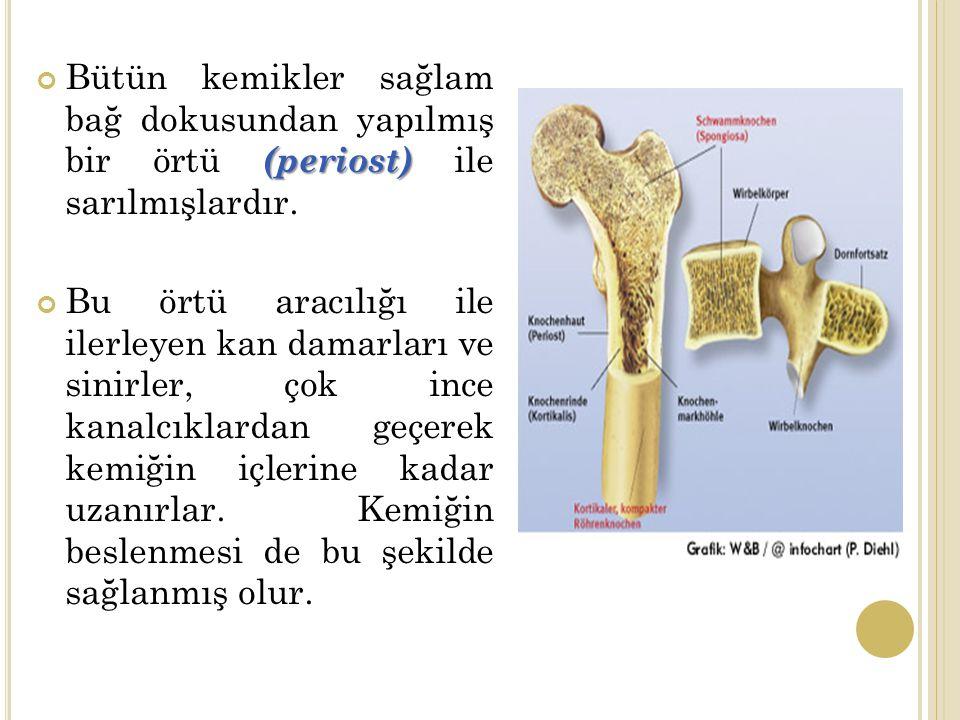 Bütün kemikler sağlam bağ dokusundan yapılmış bir örtü (periost) ile sarılmışlardır.