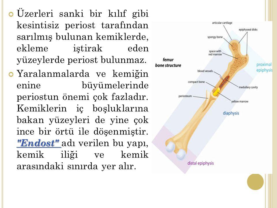 Üzerleri sanki bir kılıf gibi kesintisiz periost tarafından sarılmış bulunan kemiklerde, ekleme iştirak eden yüzeylerde periost bulunmaz.