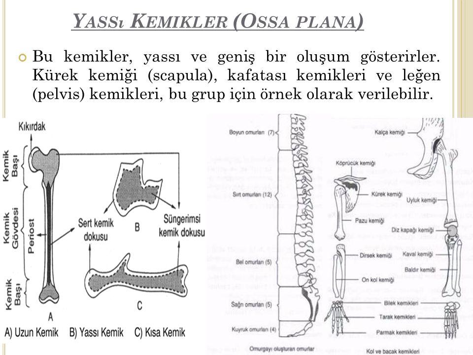 Yassı Kemikler (Ossa plana)