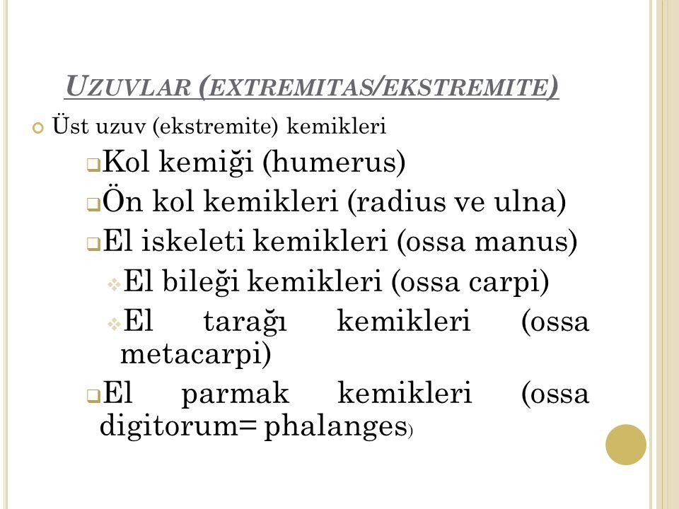 Uzuvlar (extremitas/ekstremite)