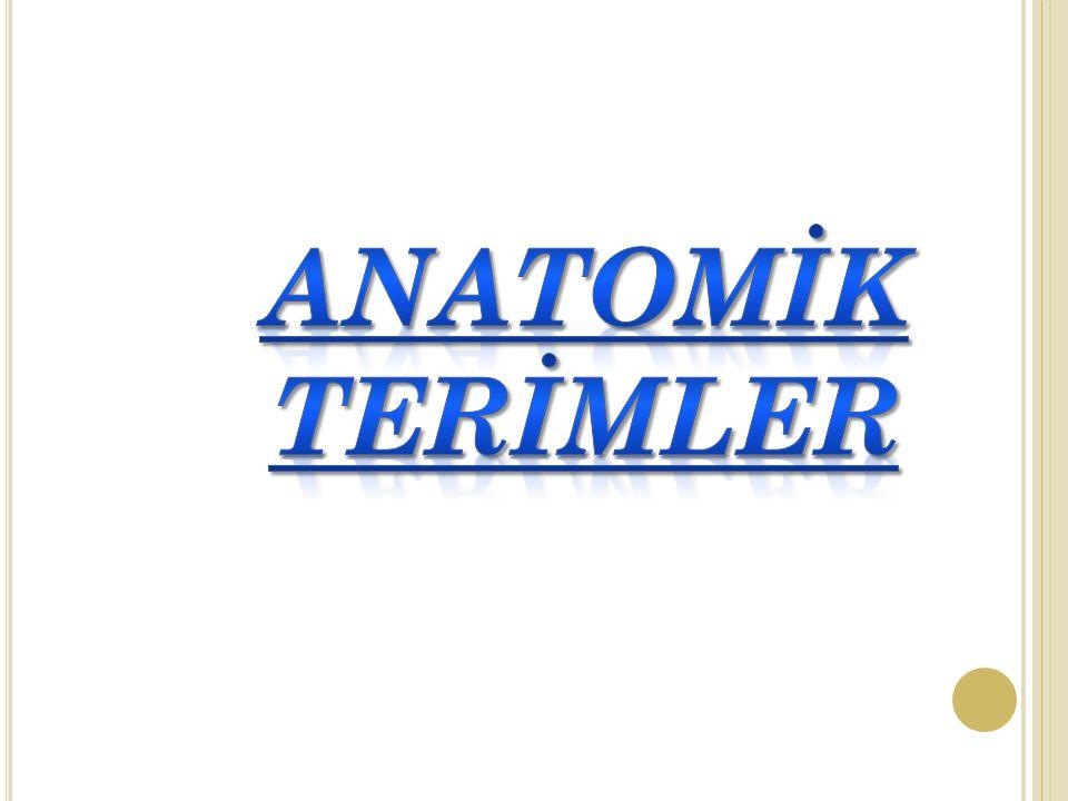 ANATOMİK TERİMLER
