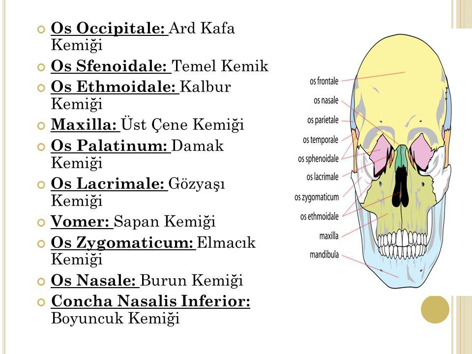 Os Occipitale: Ard Kafa Kemiği