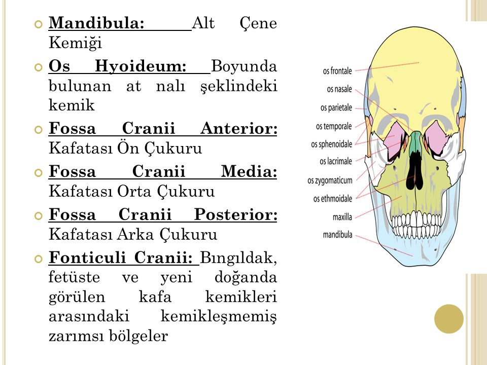 Mandibula: Alt Çene Kemiği