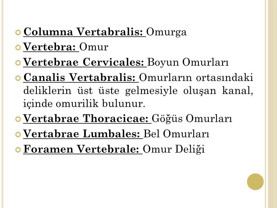 Columna Vertabralis: Omurga