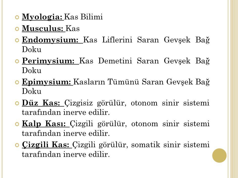 Myologia: Kas Bilimi Musculus: Kas. Endomysium: Kas Liflerini Saran Gevşek Bağ Doku. Perimysium: Kas Demetini Saran Gevşek Bağ Doku.