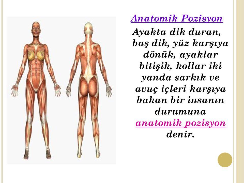 Anatomik Pozisyon