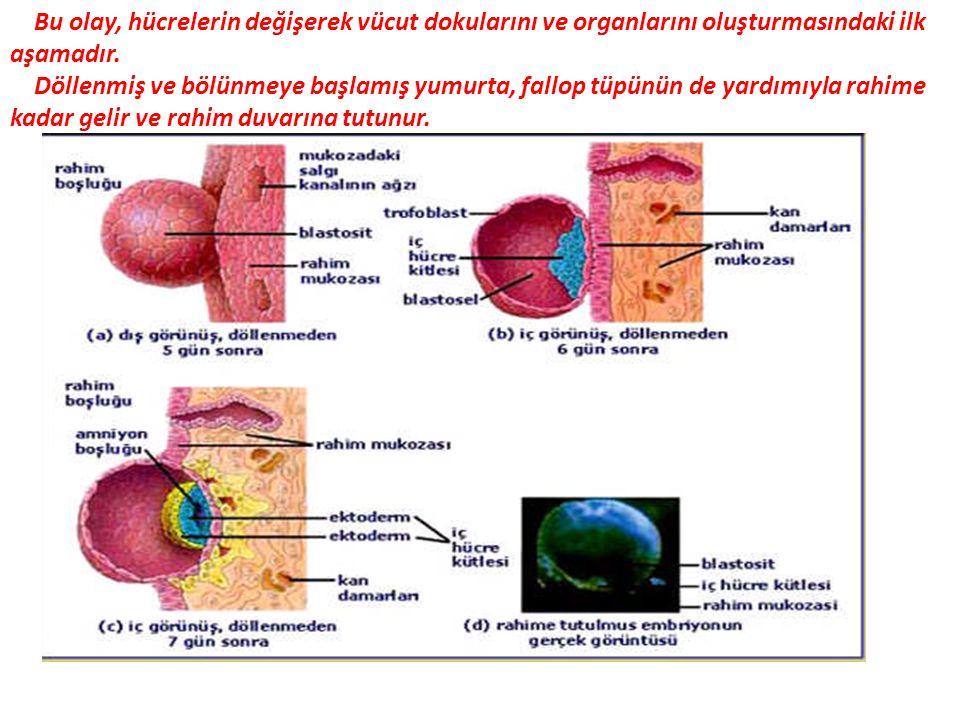 Bu olay, hücrelerin değişerek vücut dokularını ve organlarını oluşturmasındaki ilk aşamadır.