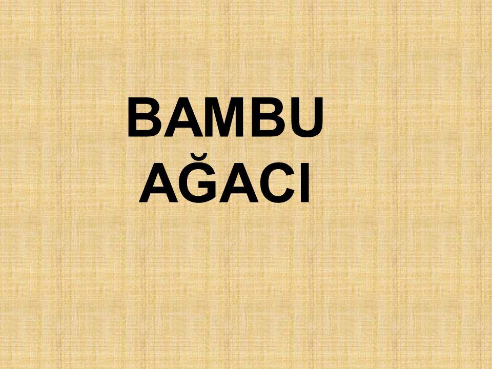 BAMBU AĞACI