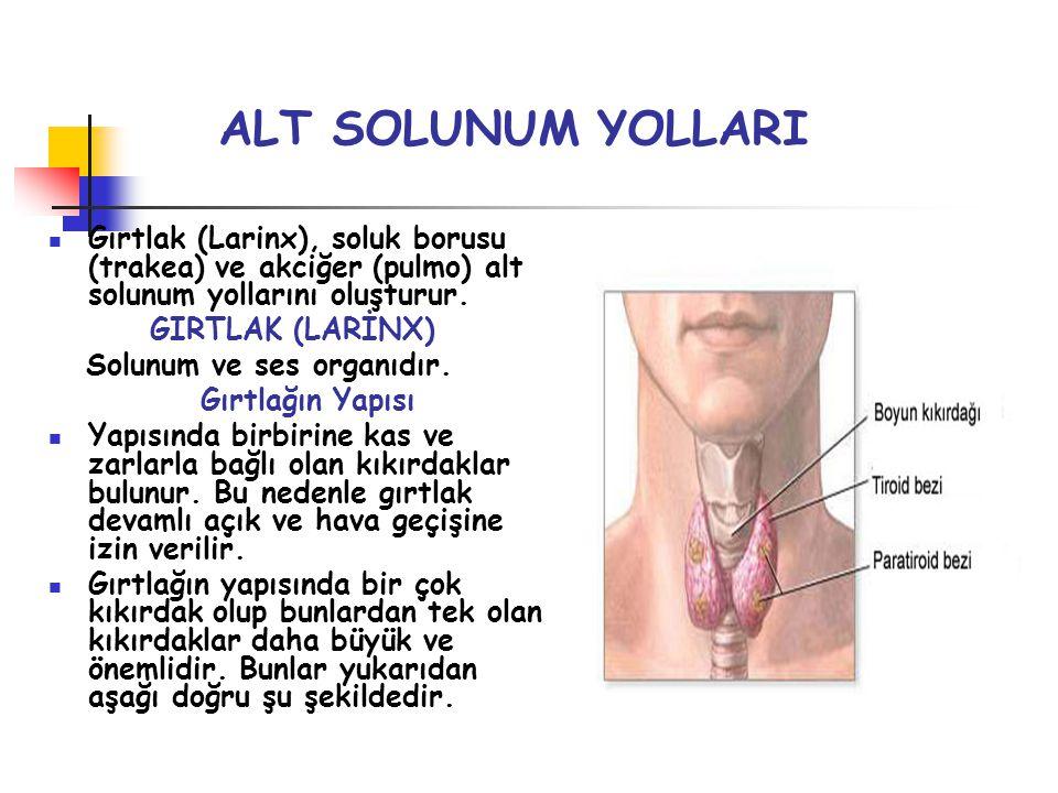 ALT SOLUNUM YOLLARI Gırtlak (Larinx), soluk borusu (trakea) ve akciğer (pulmo) alt solunum yollarını oluşturur.