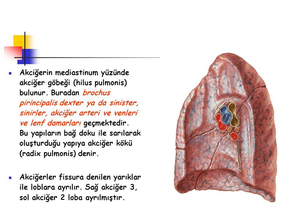 Akciğerin mediastinum yüzünde akciğer göbeği (hilus pulmonis) bulunur