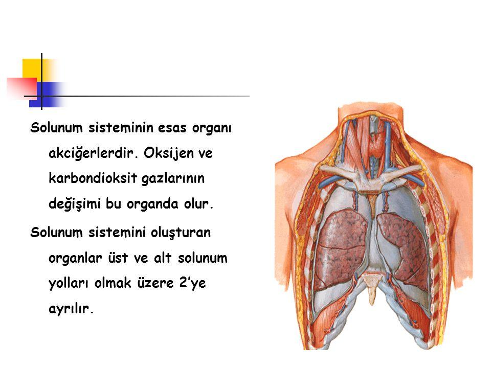 Solunum sisteminin esas organı akciğerlerdir