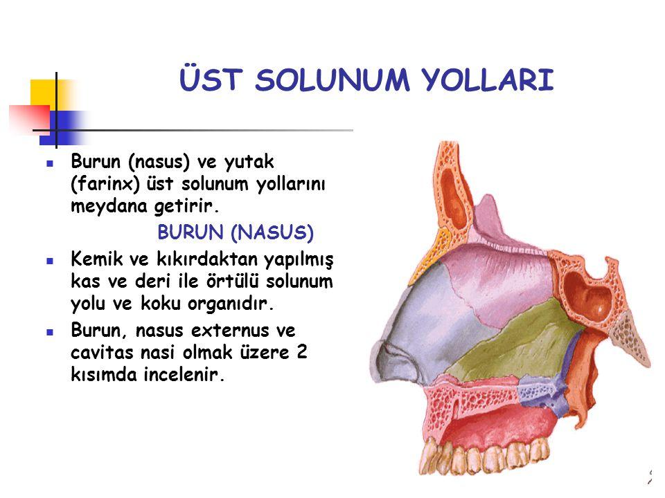 ÜST SOLUNUM YOLLARI Burun (nasus) ve yutak (farinx) üst solunum yollarını meydana getirir. BURUN (NASUS)