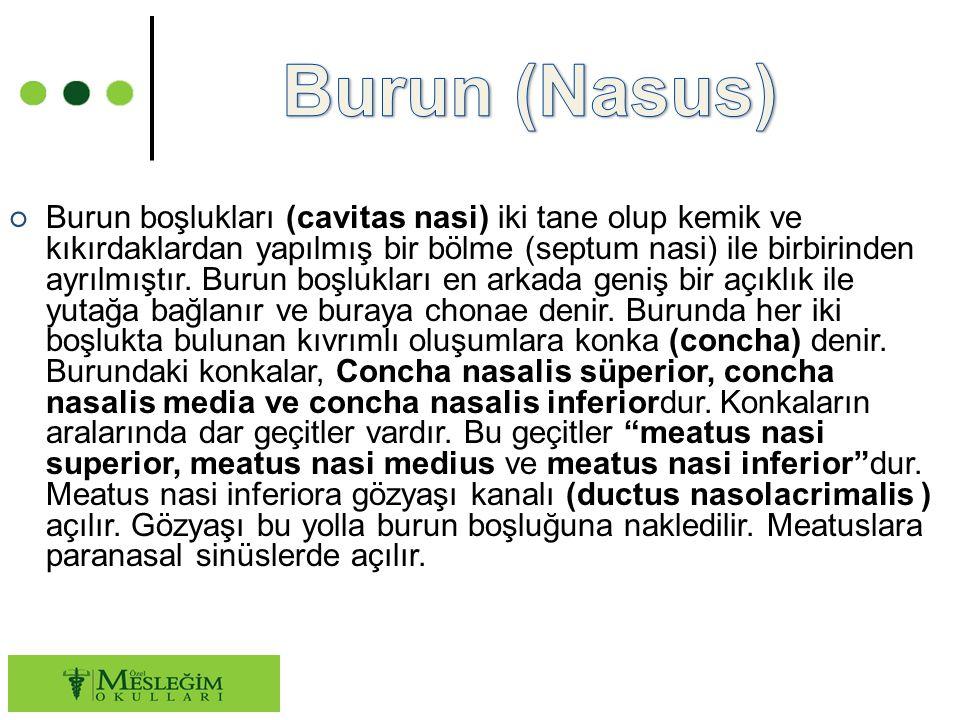 Burun (Nasus)