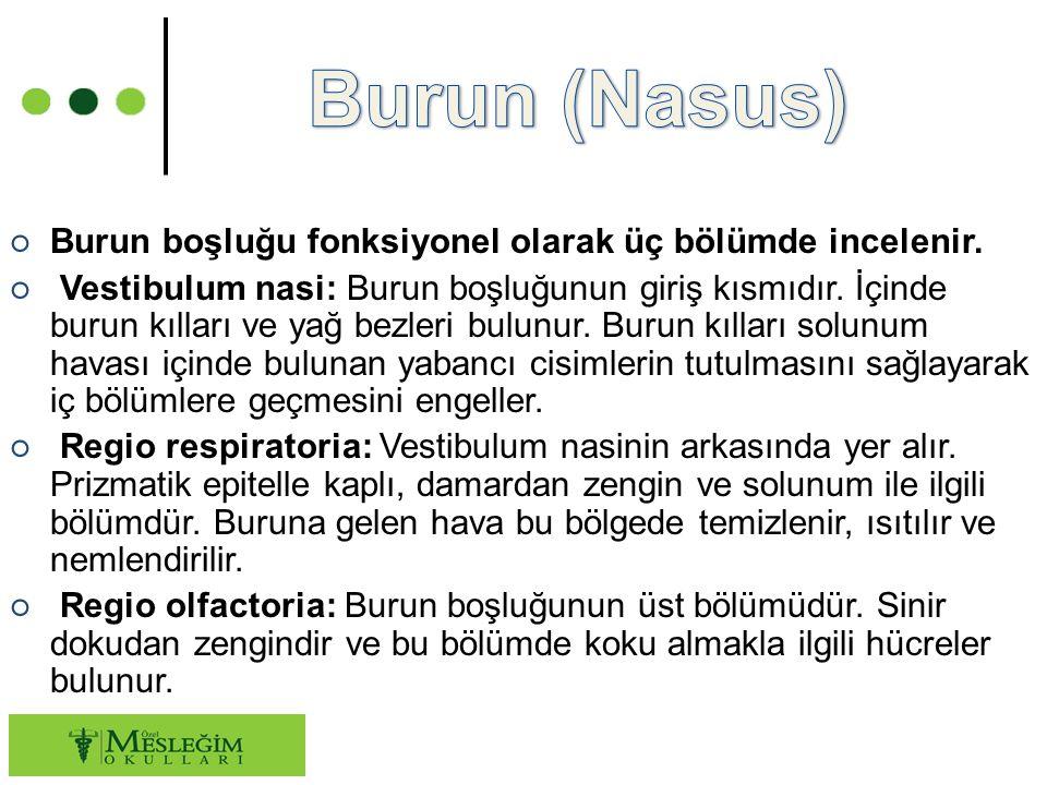 Burun (Nasus) Burun boşluğu fonksiyonel olarak üç bölümde incelenir.