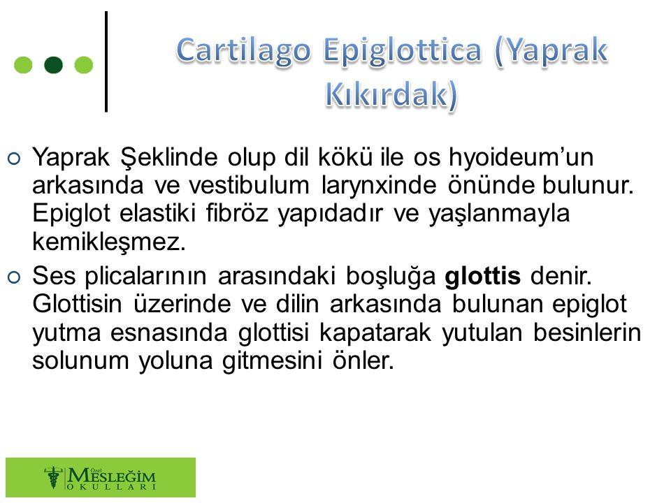Cartilago Epiglottica (Yaprak Kıkırdak)