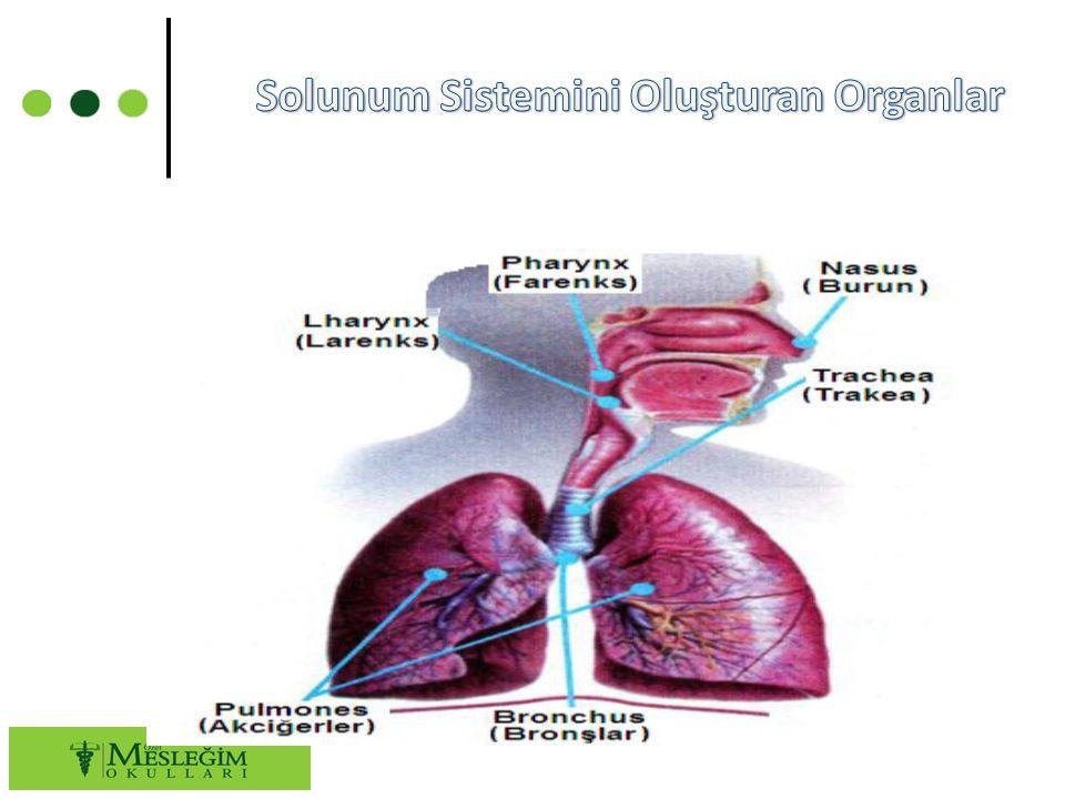 Solunum Sistemini Oluşturan Organlar
