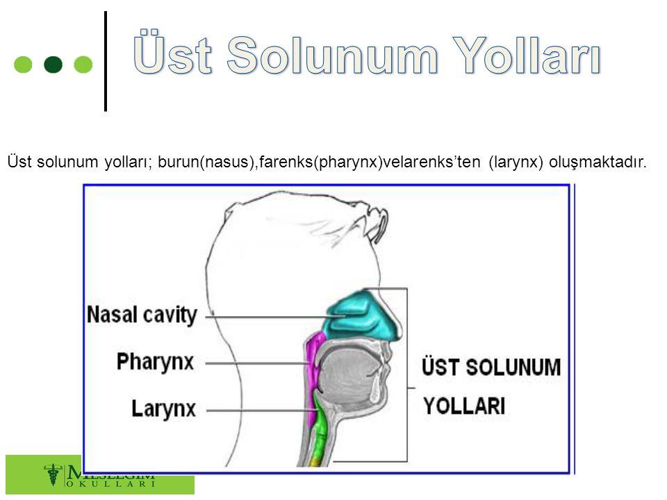 Üst Solunum Yolları Üst solunum yolları; burun(nasus),farenks(pharynx)velarenks'ten (larynx) oluşmaktadır.