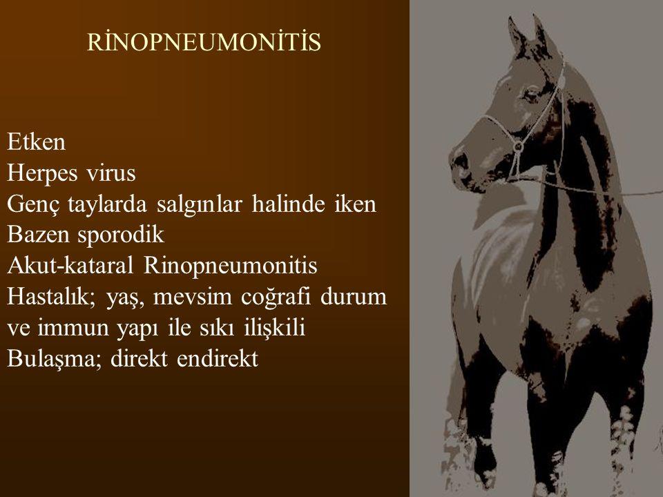 RİNOPNEUMONİTİS Etken. Herpes virus. Genç taylarda salgınlar halinde iken. Bazen sporodik. Akut-kataral Rinopneumonitis.