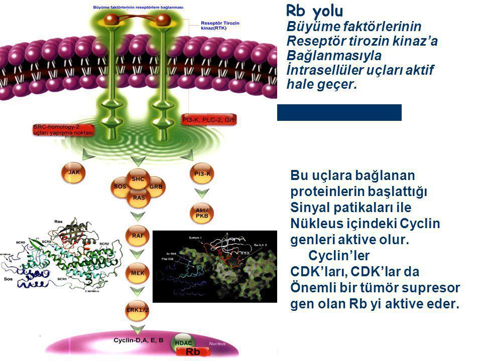 Rb yolu Büyüme faktörlerinin Reseptör tirozin kinaz'a Bağlanmasıyla