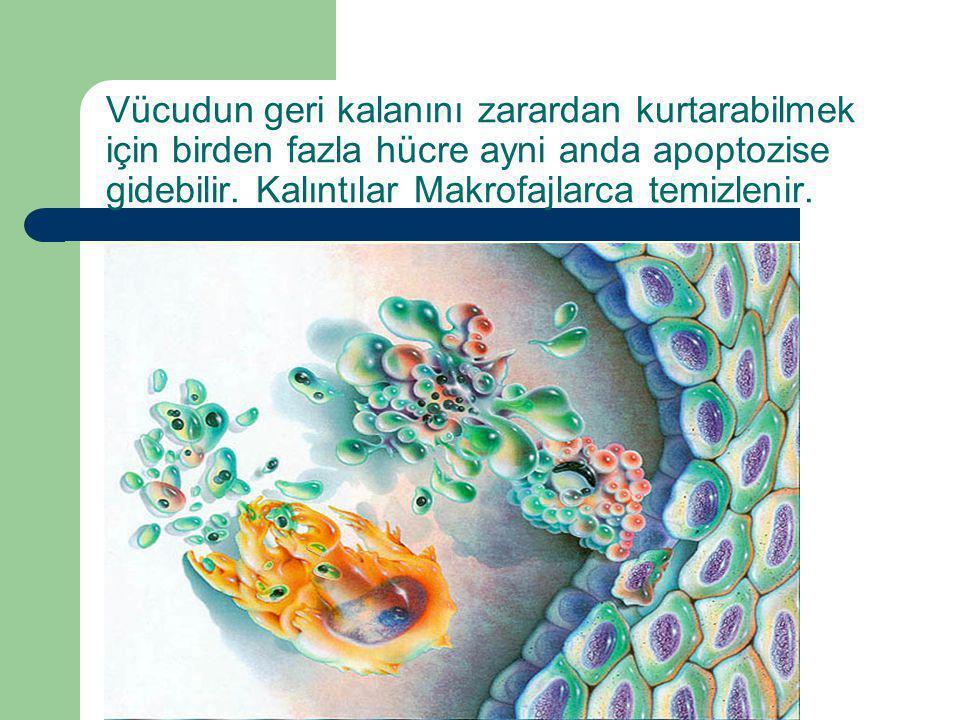 Vücudun geri kalanını zarardan kurtarabilmek için birden fazla hücre ayni anda apoptozise gidebilir. Kalıntılar Makrofajlarca temizlenir.