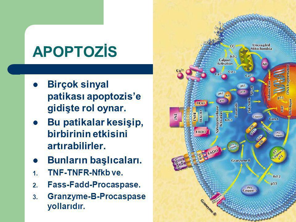 APOPTOZİS Birçok sinyal patikası apoptozis'e gidişte rol oynar.
