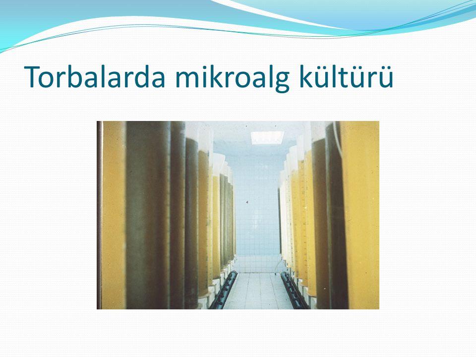 Torbalarda mikroalg kültürü