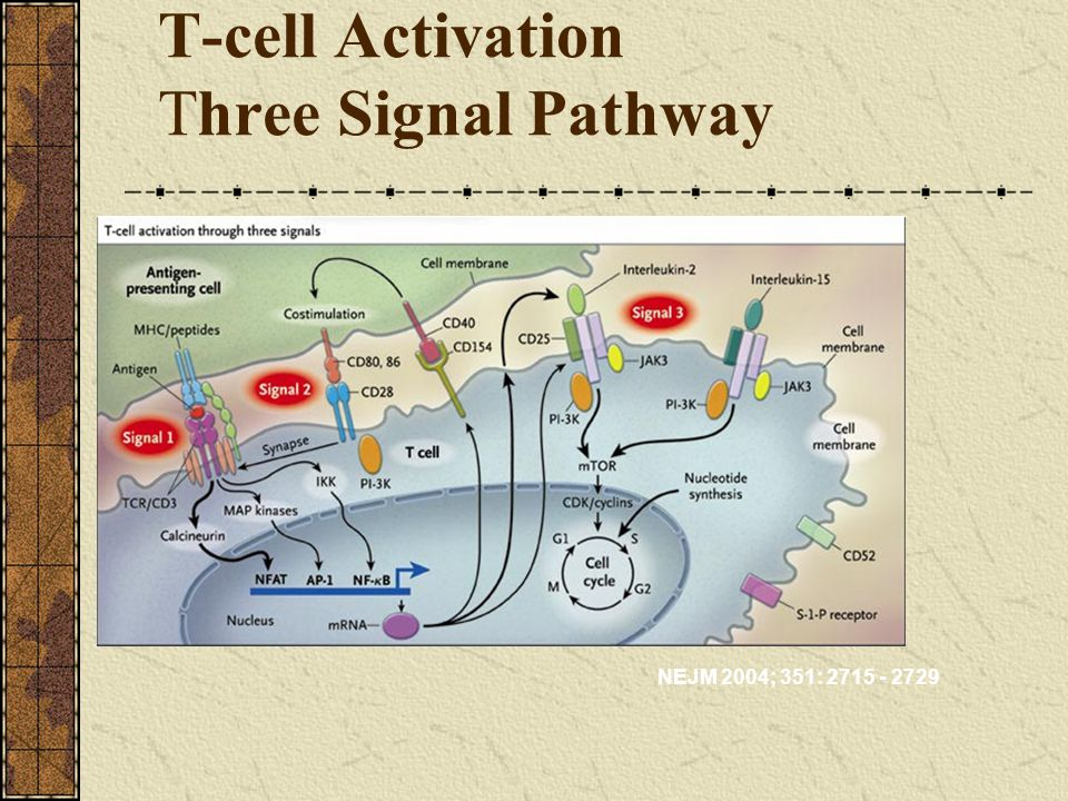 T-cell Activation Three Signal Pathway