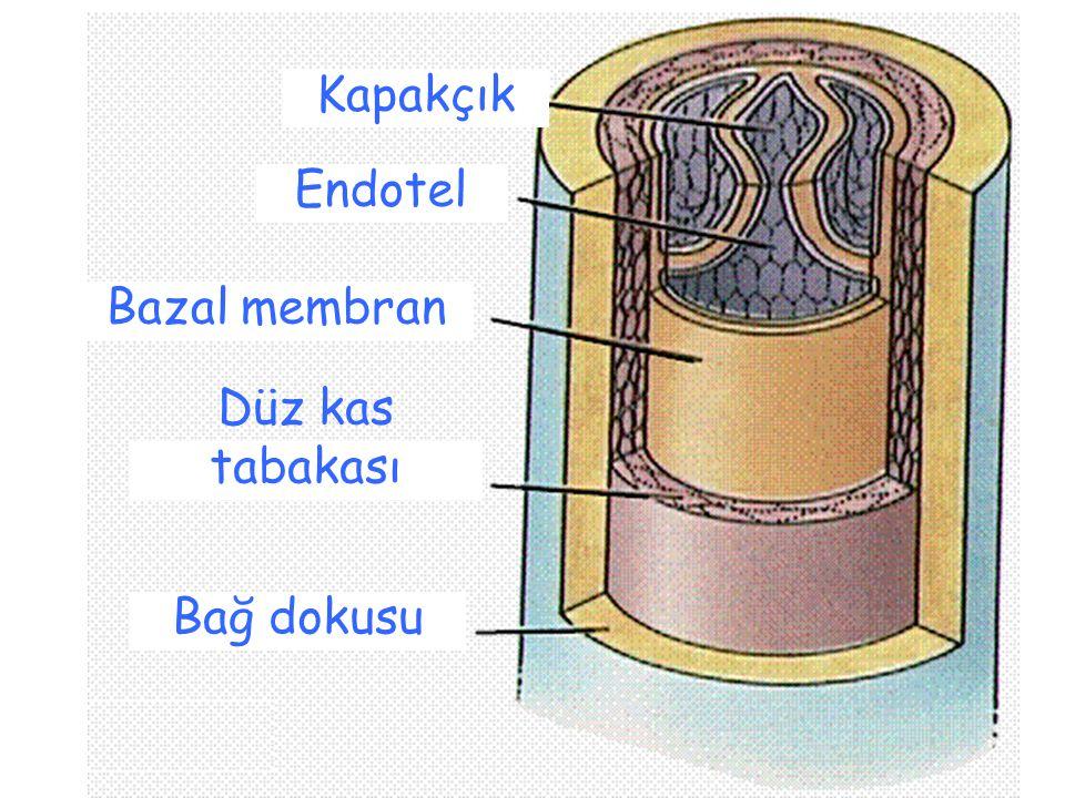 Kapakçık Endotel Bazal membran Düz kas tabakası Bağ dokusu