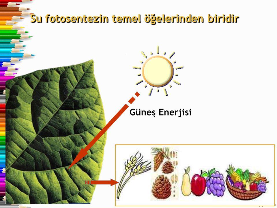 Su fotosentezin temel öğelerinden biridir