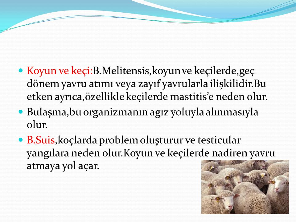 Koyun ve keçi:B.Melitensis,koyun ve keçilerde,geç dönem yavru atımı veya zayıf yavrularla ilişkilidir.Bu etken ayrıca,özellikle keçilerde mastitis'e neden olur.