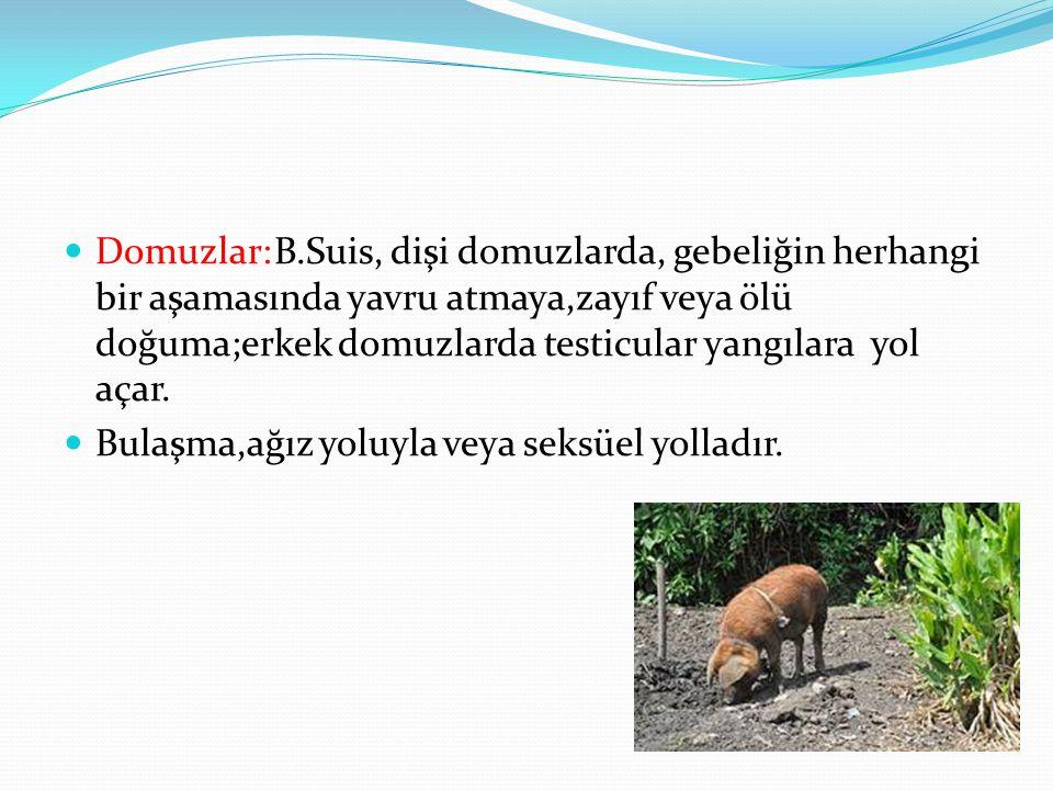Domuzlar: B.Suis, dişi domuzlarda, gebeliğin herhangi bir aşamasında yavru atmaya,zayıf veya ölü doğuma;erkek domuzlarda testicular yangılara yol açar.