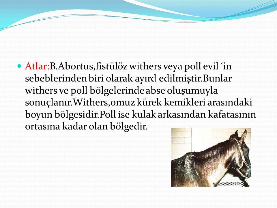 Atlar:B.Abortus,fistülöz withers veya poll evil 'in sebeblerinden biri olarak ayırd edilmiştir.Bunlar withers ve poll bölgelerinde abse oluşumuyla sonuçlanır.Withers,omuz kürek kemikleri arasındaki boyun bölgesidir.Poll ise kulak arkasından kafatasının ortasına kadar olan bölgedir.