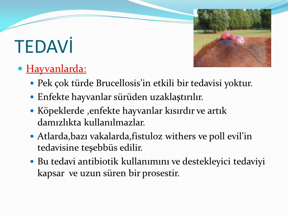 TEDAVİ Hayvanlarda: Pek çok türde Brucellosis'in etkili bir tedavisi yoktur. Enfekte hayvanlar sürüden uzaklaştırılır.