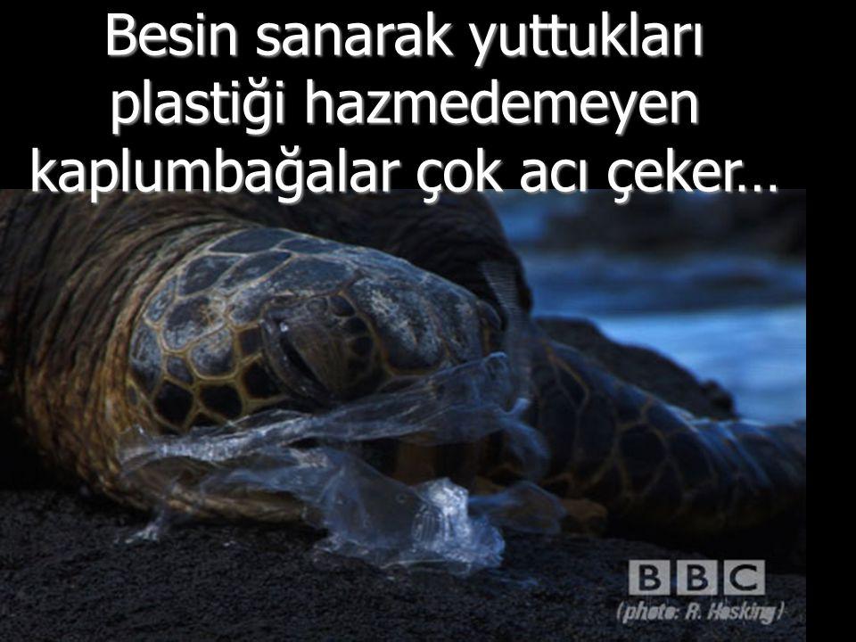 Besin sanarak yuttukları plastiği hazmedemeyen kaplumbağalar çok acı çeker…