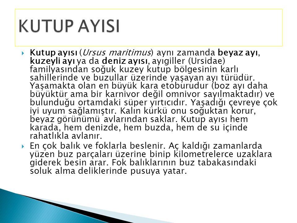 KUTUP AYISI