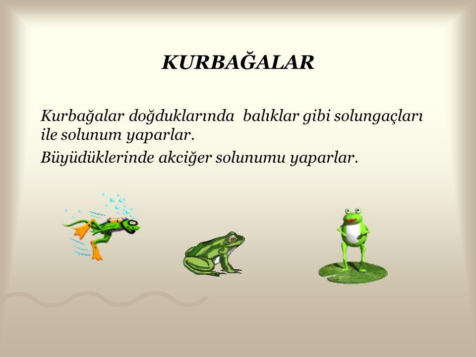 KURBAĞALAR Kurbağalar doğduklarında balıklar gibi solungaçları ile solunum yaparlar.
