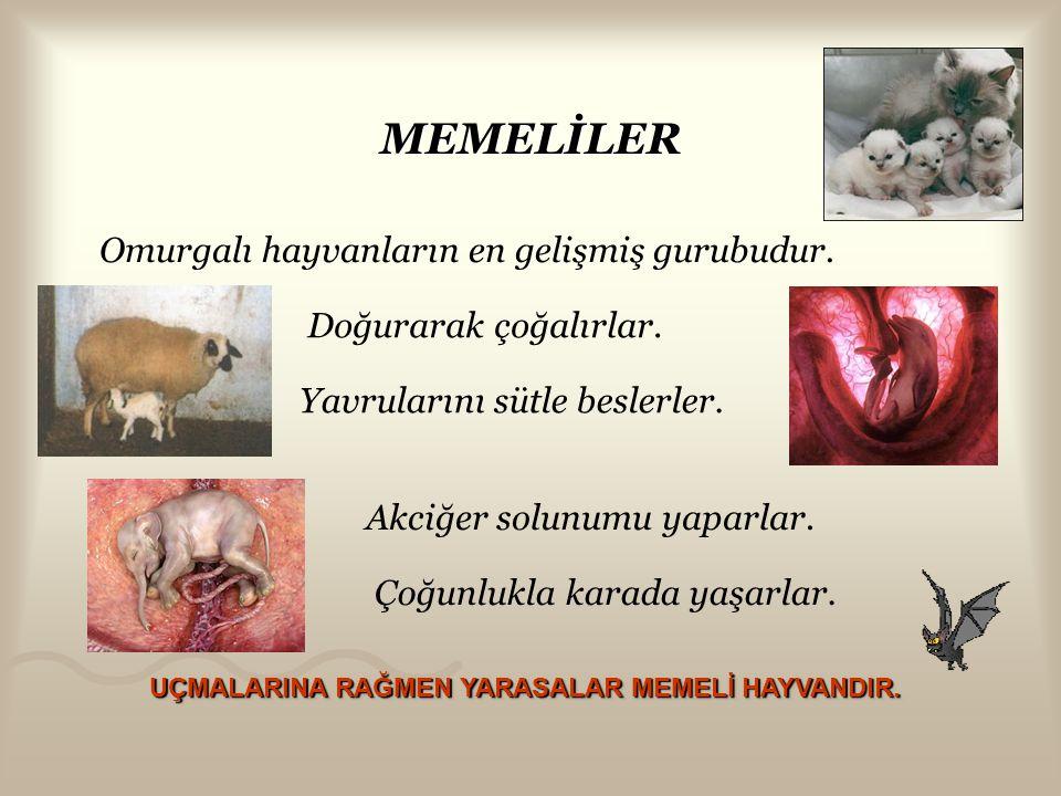 MEMELİLER Omurgalı hayvanların en gelişmiş gurubudur.