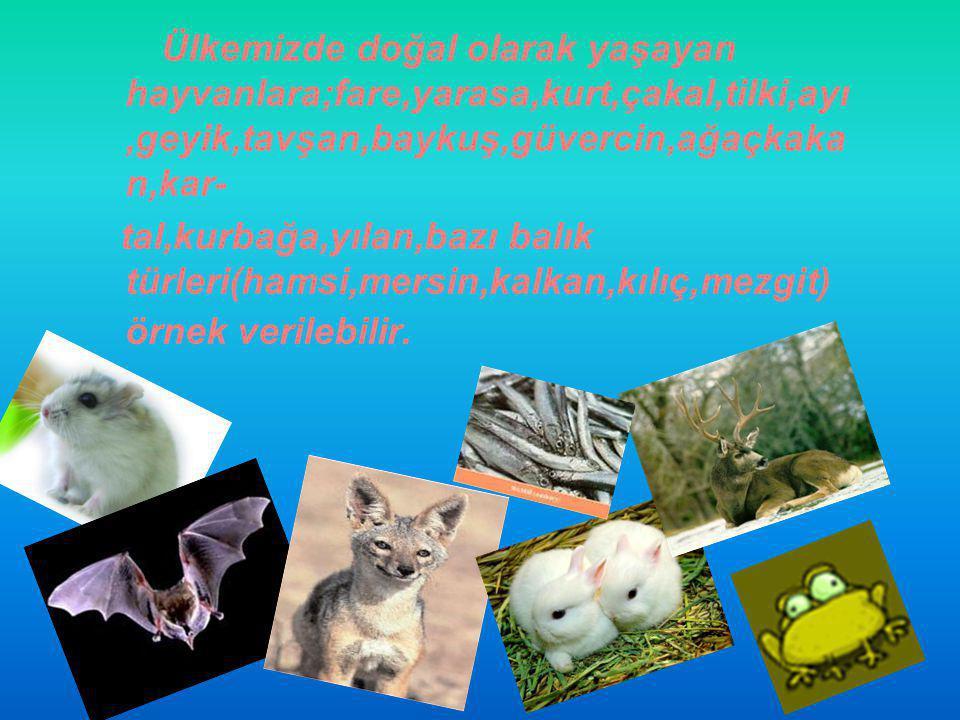Ülkemizde doğal olarak yaşayan hayvanlara;fare,yarasa,kurt,çakal,tilki,ayı,geyik,tavşan,baykuş,güvercin,ağaçkakan,kar-