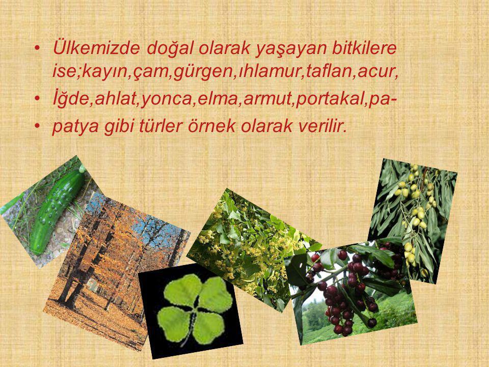Ülkemizde doğal olarak yaşayan bitkilere ise;kayın,çam,gürgen,ıhlamur,taflan,acur,
