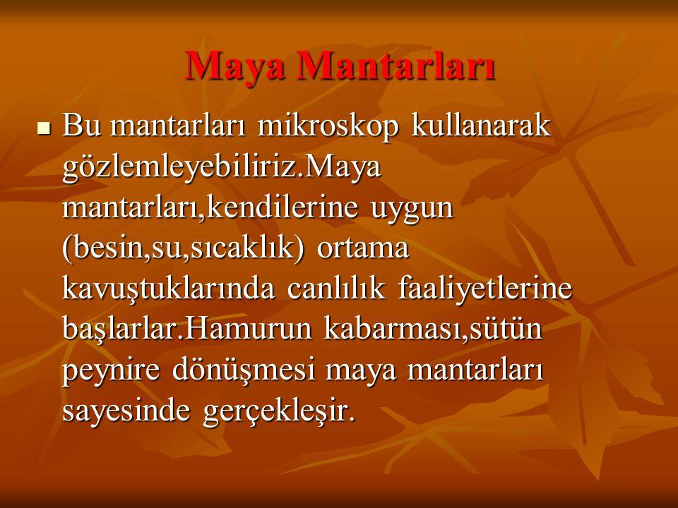 Maya Mantarları