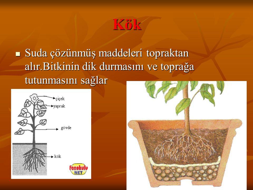 Kök Suda çözünmüş maddeleri topraktan alır.Bitkinin dik durmasını ve toprağa tutunmasını sağlar