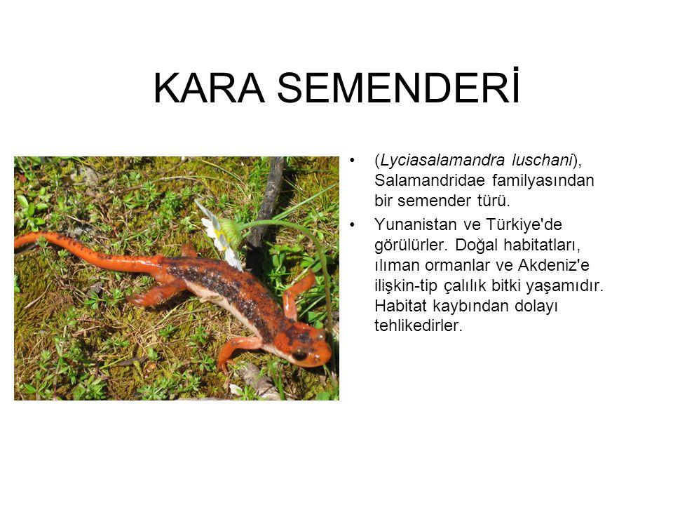 KARA SEMENDERİ (Lyciasalamandra luschani), Salamandridae familyasından bir semender türü.