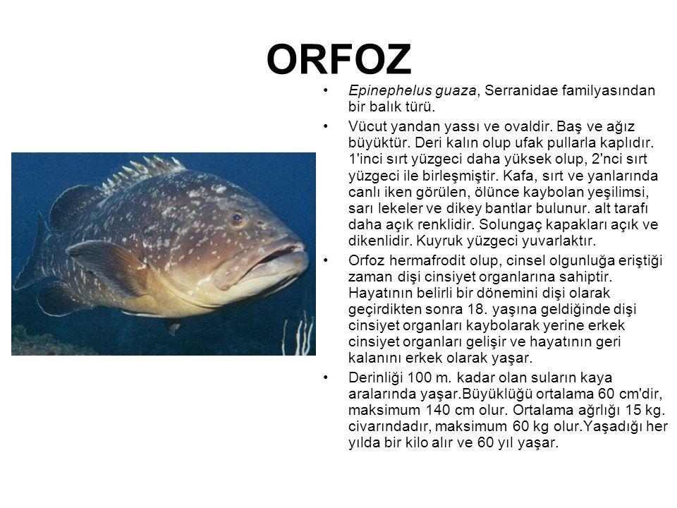 ORFOZ Epinephelus guaza, Serranidae familyasından bir balık türü.