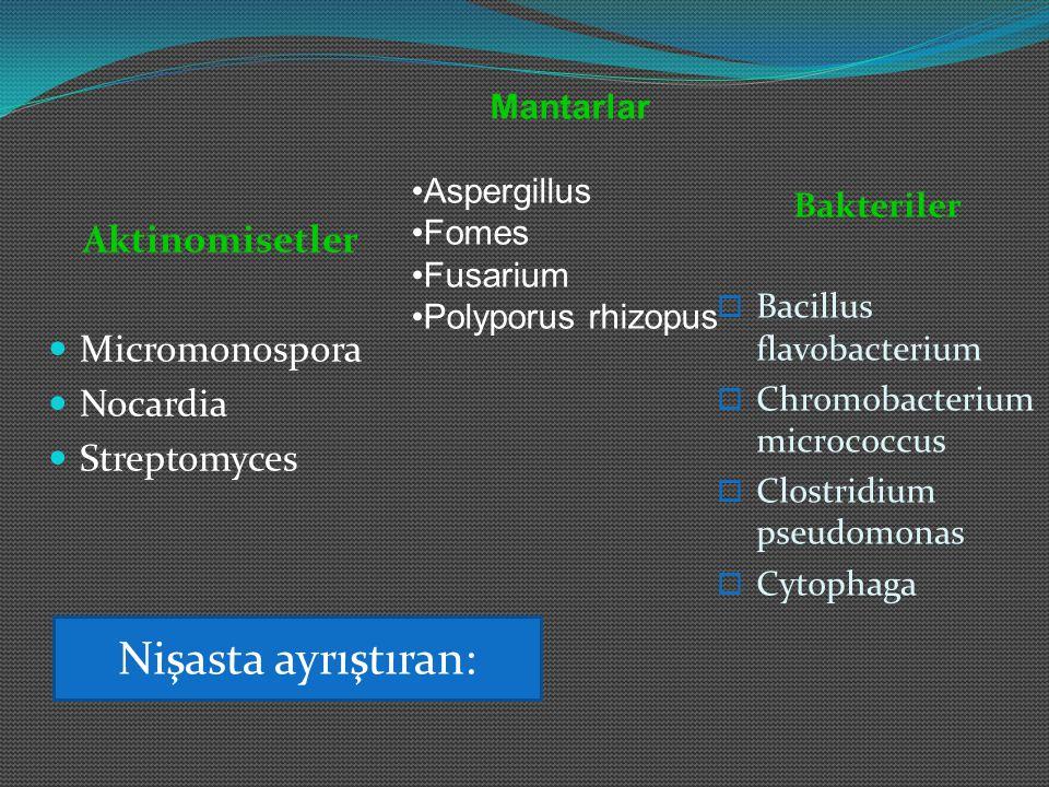 Nişasta ayrıştıran: Aktinomisetler Micromonospora Nocardia