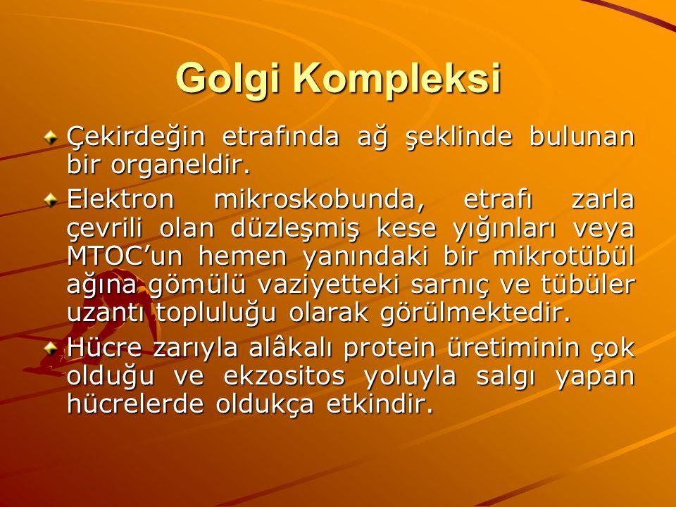 Golgi Kompleksi Çekirdeğin etrafında ağ şeklinde bulunan bir organeldir.