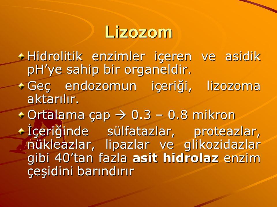 Lizozom Hidrolitik enzimler içeren ve asidik pH'ye sahip bir organeldir. Geç endozomun içeriği, lizozoma aktarılır.